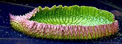 . Seerosenblatt ~ lily pad (© the-best-is-yet-to-come ©) Tags: blinkagain dblringexcellence tplringexcellence ツelitegreenmacrosツ
