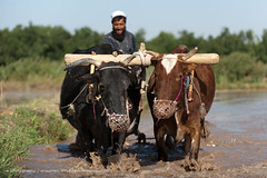 A man works a bull-cart in a rice paddie, near Herat (Alex Treadway) Tags: food afghanistan man male green water field rural work outdoors photography asia driving cows rice steering mud earth traditional farming working harvest culture bull bulls hills soil till crop land fields labour environment daytime farmer guide plow agriculture sideview eastern plowing technique pulling hardwork operating plough direct oneperson towing preparing herat skill harvesting ploughing cultivate maneuver onepersononly bullockcart controlling pullcart ricepaddie ruralscene animalthemes colourimage traditionalknowledge 2024years