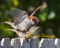 It's in his kiss (Denise Trocio (D Trocio Photography)) Tags: bird nature canon outdoors wildlife mating housesparrow mates 100400mm allrightsreserved courtship backyardbirds canon7d dtrociophotography