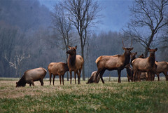 Elk in Boxley Valley, Arkansas (Jeka World Photography) Tags: usa field animal nikon unitedstates northamerica arkansas elk herd boxleyvalley d7000 jekaworldphotography photocontesttnc12 jeffrosephotography dailynaturetnc12