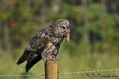 Great Gray With Supper DSC_4608 (Ron Kube Photography) Tags: canada bird nature birds fauna nikon alberta owl greatgrayowl ornithology owls greatgray strixnebulosa southernalberta d300s globalbirdtrekkers ronaldok nikond300s ronkubephotography