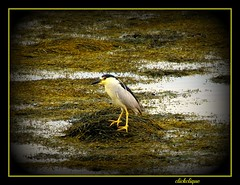 Black Crowned Night Heron~Explore # 286 (clickclique) Tags: black green bird heron water yellow evening weeds nb explore wharf blueribbonwinner petitrocher