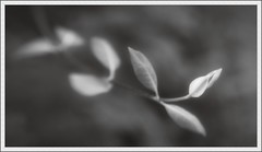 Lensbaby Thursdays (76): Honeysuckle (spodzone) Tags: blackandwhite plants blur art nature closeup composite sepia lensbaby manipulated lens photography scotland flora warm dof emotion unitedkingdom bokeh argyll curves gimp places calm equipment innocence glowing dreamy serene honeysuckle hazy distance toned minimalist tranquil stacked airy contentment lowcontrast krita painteffects digikam taynuilt shapeandform rawconversion inverawe enfuse rawtherapee darktable