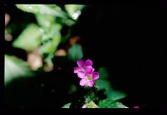 酢漿草二 (Joshua tw) Tags: flower nikon kodak taiwan f100 nikkor 台灣 oxalis e100vs nikonsupercoolscan5000ed 酢漿草 afdmicro105mm