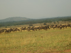 Wildebeest herd grazing on open plain (Real Africa) Tags: africa wild tanzania kenya running safari herd grazing wildebeest wildebeestmigration safarianimal migrationmasimara