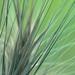 Sharp grass