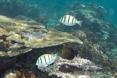 fiji snorkeling convicttang lomaiviti wakaya zebrasomascopas convictsurgeonfish acanthurustriostegus homesteadbay brushtailtang korosea