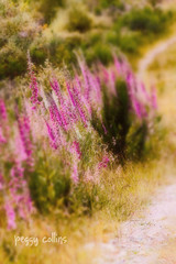 The Path (Peggy Collins) Tags: pink flowers summer canada floral field landscape path britishcolumbia blurred pacificnorthwest dreamy wildflowers dreamlike sunshinecoast foxgloves theroadnottaken tiltshift summerflowers verticallandscape lensbabyeffect dreamylandscape florallandscape peggycollins lensbabylandscape suncoastertrail