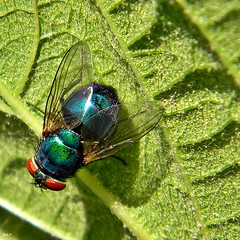 Green Bottle Fly (Lucilia sp.) (bob in swamp) Tags: nikon florida coolpix flies palmbeachcounty blowfly diptera calliphoridae greenbottlefly taxonomy:family=calliphoridae junodunesnaturalarea metallicgreenfly