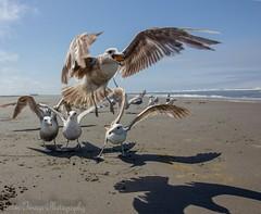 Nice catch! (Frozen Image Photography) Tags: ocean beach fly washington sand pacific seagull catch treat cheezit matchpointwinner t201 thepinnaclehof kanchenjungachallengewinner thepinnacleblog tphofweek163 frozenimagephotography f64g50r1win