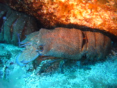 Don Restingo - Slipper lobster (Scuba Devils) Tags: islands scuba el canary slipperlobster heirro arrecifal