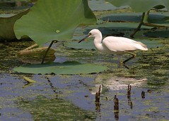 Immature little blue heron (Thank you for 1.5 Million views) Tags: blue heron nature little great meadows immature
