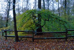 Faux de Verzy (pontfire) Tags: wood autumn france tree forest montagne automne reims arbre bois marne fret champagneardenne verzy montagnedereims lamarne fauxdeverzy htretortillard fagaces htrecommun pontfire fagussylvaticavar fretdomanialedeverzy