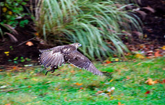 hawk-3947-Edit.jpg (HVargas) Tags: bird birds hawk wildlife aves falcon prey chickenhawk falconry redtailedhawk carnivoro harrishawk harrisshawk harlans gavilan ractor baywingedhawk buteojamaicensisredtailedhawk duskyhawk ratonerodecolaroja gavilncolirrojo gavilanguaraguao