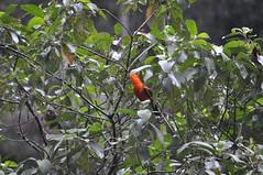 Cock of the Rock (Rupicola peruvianus) (RichardJames1990) Tags: peru rock de photography james amazon rainforest leeds cock richard tropical manu madre dios