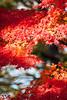 maple tree (peaceful-jp-scenery (busy)) Tags: autumn leaves leaf maple sony 日本 紅葉 amount 山中湖 山梨 yamanakako カエデ fuji5lakes α700 dslra700 sal70300g 山中湖村 sony70300g 紅葉まつり 旭ヶ丘 夕焼けの渚