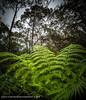 Mountain Ferns IX (Gary Hayes) Tags: sydney australia bluemountains nsw