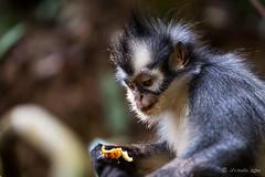 Thomas Leaf Monkey 4691 (Ursula in Aus (Resting - Away)) Tags: animal sumatra indonesia unesco bukitlawang gunungleusernationalpark earthasia sumatrangrizzledlangur thomasslangur presbytisthomasi thomasleafmonkey