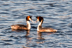 Courting Great Crested Grebes (Graham Howarth) Tags: forest walk great reservoir stocks crested circular courting gisburn bowland grebes