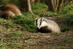 Badger (Louise Morris (looloobey)) Tags: snow sunshine rain hail alan scott scotland daylight wind walk rich badger fields nigel soaking april2016 aq7i7323