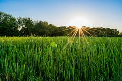 a Spring Evening (#Resunokin) Tags: travel blue sunset sky sun nature colors field lens star evening spring nice nikon sonnenuntergang time natur himmel beginning kit 1855mm dslr sonne blauer frhling abends nikonphotography sonnenstern d3300