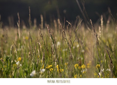 #33 (Les photographies de Marina) Tags: france flower nature fleur pentax printemps champ hauteloire youngsphotographers projet365 jeunephotographe pentaxkr