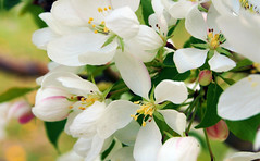 Apple Blossoms 3 of 3 (Gerry Marchand) Tags: white flower apple blossoms olympus omd em5