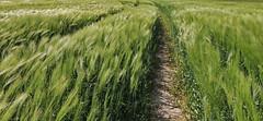 im Wind (Wunderlich, Olga) Tags: green nature landscape wind natur deu mecklenburgvorpommern getreide