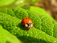 Marienkfer (Jrg Paul Kaspari) Tags: orange green leaf spring beetle mai grn blatt trier kfer frhling marienkfer 2016 buddleja matico globosa buddlejaglobosa bobinet trierwest kugelschmetterlingsflieder