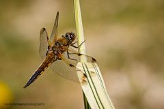 Four-spotted Chaser (m) (ABPhotosUK) Tags: macro animals canon garden pond dragonflies wildlife devon nocrop dartmoor invertebrates odonata anisoptera fourspottedchaser libellulaquadrimaculata ef25mmextensiontube eos7dmarkii ef100400mmisii