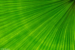 Palm frond (Thad Zajdowicz) Tags: california wallpaper plant abstract color green texture nature monochrome closeup digital canon eos daylight leaf flora sanmarino pattern availablelight background fineart palm minimal frond diagonal existinglight 365 minimalism dslr mothernature huntingtongardens lightroom 366 organicpattern 5dmarkiii zajdowicz