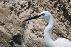 IMG_5793 (elkost) Tags:  kalochori kalochrion birds  egrettagarzetta
