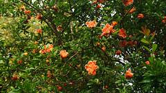 nar çiçekleri