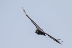 7K8A2071 (rpealit) Tags: black bird nature river scenery state wildlife lookout line hudson vulture palisades pkwy