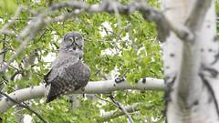 Great Gray (jrlarson67) Tags: bird nikon great gray raptor owl d500