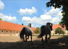 Brandenburgisches Haupt- und Landgestt Neustadt (Dosse) (me*voil) Tags: horses silhouette studfarm noriker editionboiselle brandenburgischeshauptundlandgesttneustadtdosse