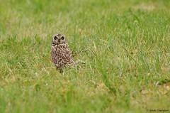 Regard de tueur (Romain Claudepierre) Tags: wildlife sigma os owl asio hibou touraine 120300 brachyote