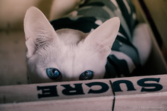 sugar sweet eyes looking at me (la fe tarabiscote) Tags: white cute look cat eyes sweet siamese sugar oriental foreign
