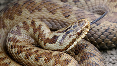 Adder - Female (jaytee27) Tags: naturethroughthelens adderfemale