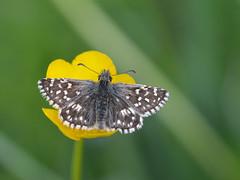Aardbeivlinder (diederickmeinen) Tags: vlinders
