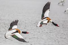 Bergeend - Tadorna tadorna (Gerald Schuring) Tags: bird birds waddenzee vogels wad vogel lauwersmeer tadornatadorna tadorna bergeend geraldschuring