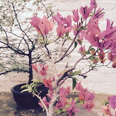 IMG_1468 (francois f swanepoel) Tags: flower bonsai purple asian bougainvillea