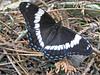 White Admiral (Nerdus iratus var. rubrum) Tags: macro butterfly insect s lepidoptera limenitis whiteadmiral limenitisarthemisarthemis basilarchia brushfootedbutterfly minnesotausa nymphalia