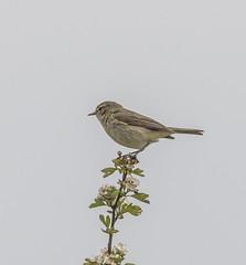 IMG_8352 (Mal.Durbin Photography) Tags: nature birds fauna wildlife insects naturereserve newportwetlands maldurbin goldcliffnewport