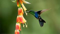Green-crowned Woodnymph (Raymond J Barlow) Tags: hummingbird nature naturallight phototours ecuador raymondbarlow travel adventure