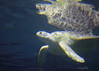 Sea Turtle Reflections (Soapbox Girl (Carol Anne)) Tags: fish aquarium seaturtle aquaticlife adventureaquarium newjerseyaquarium adventureaquariumcamdennj