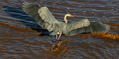 The Chase Continues (20160602-190452-PJG) (DrgnMastr) Tags: bravo fb cropped greatblueherons littlestories supershot petitcodiacriver specanimal oe1 avianexcellence naturesspirit picswithsoul sunshinegroup opticalexcellence grouptags allrightsreserveddrgnmastrpjg pjgergelyallrightsreserved ia75