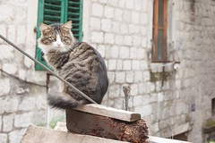 Kotor-kitty (jdlasica) Tags: cruise europe mediterranean montenegro kotor adriaticcoast vikingstar