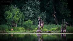Summer Evening (Zoltn Gyri) Tags: evening riverbank roedeer capreoluscapreolus z zoltangyori gyrizoltn