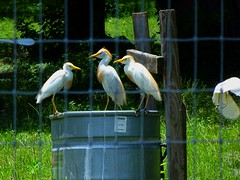 Cattle Egrets (Photography & Website Design) Tags: cattle egrets farm fence drink water